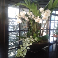 Orquídeas Phalaenopsis ¨ Aqua¨